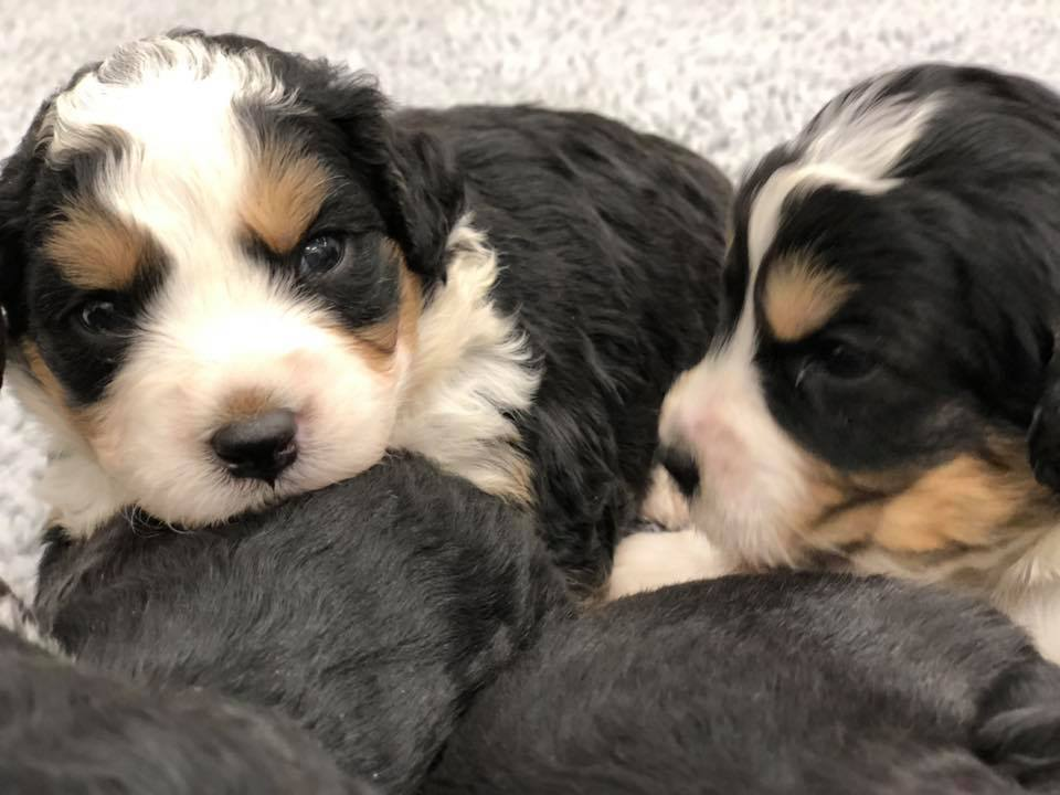 A great pic of cute Mini Bernedoodles!