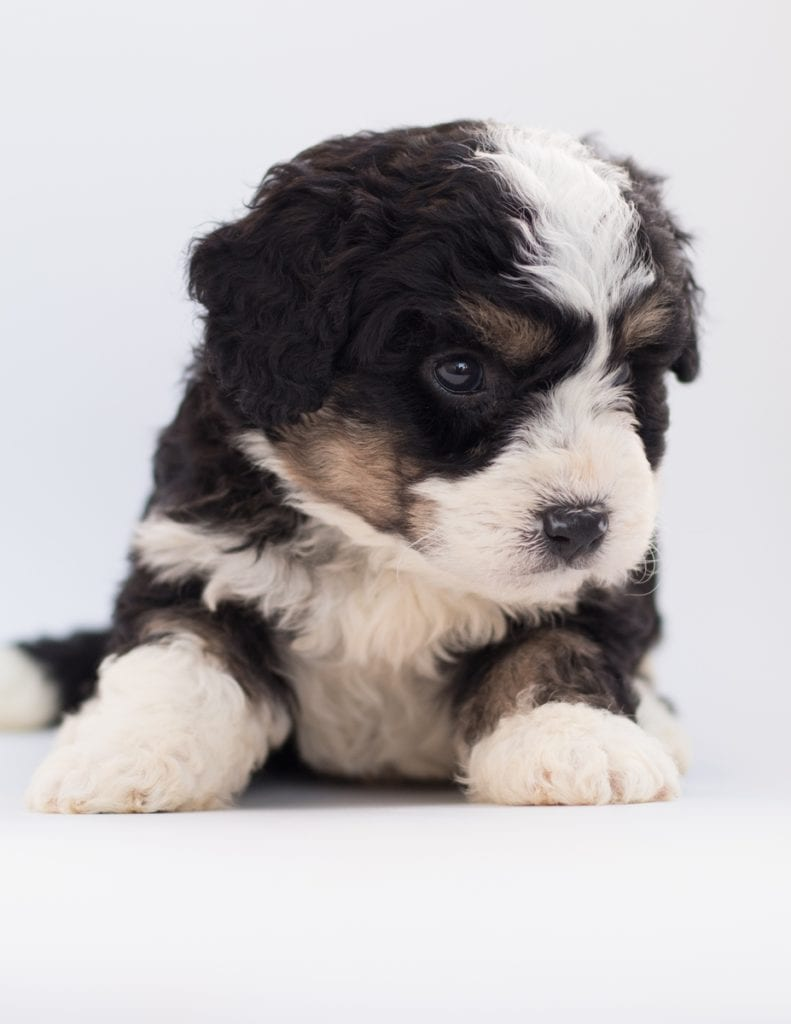 Another great picture of Benji, a Bernedoodles puppy