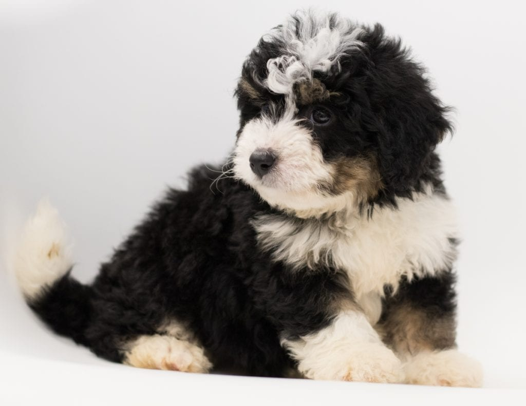 """Benji is an F1 Bernedoodle that will be hypoallergenic. Read more about what a dog being hypoallergenic means on our latest blog post, """"The New Breed Everyone Seems to Want"""""""