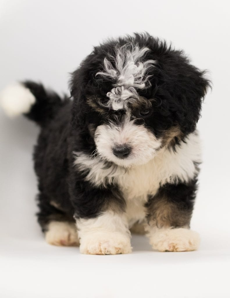 Benji came from Benji and Stanley's litter of F1 Bernedoodles