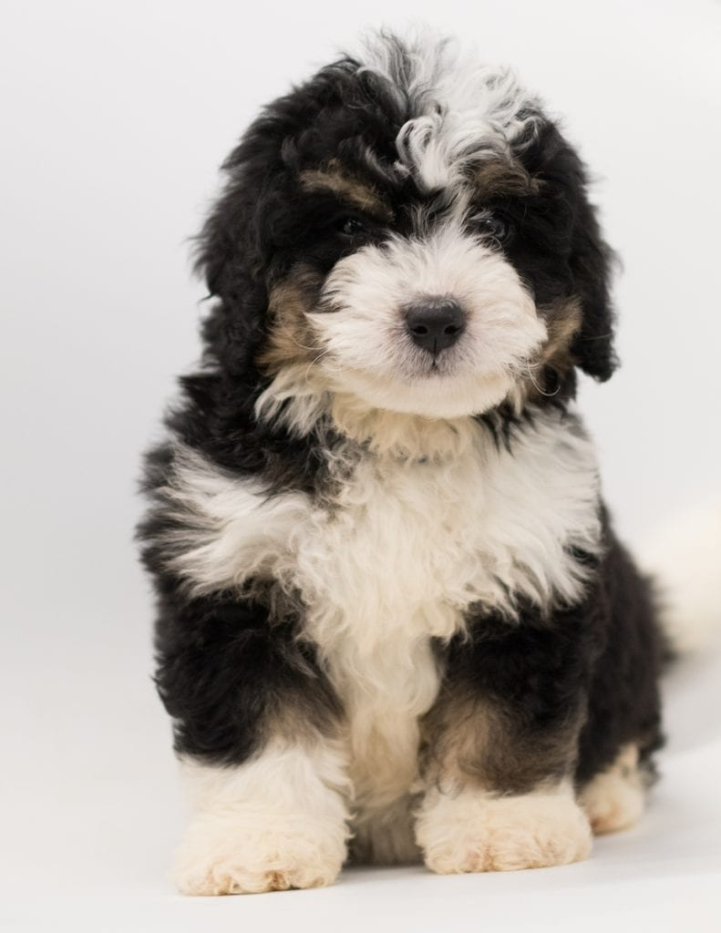 A picture of a Benji, one of our  Bernedoodles for sale