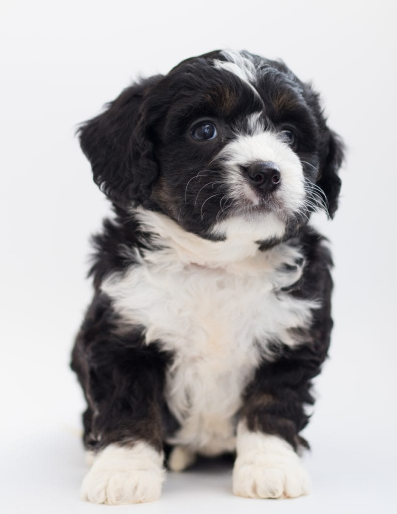 Benz is an F1 Bernedoodle.