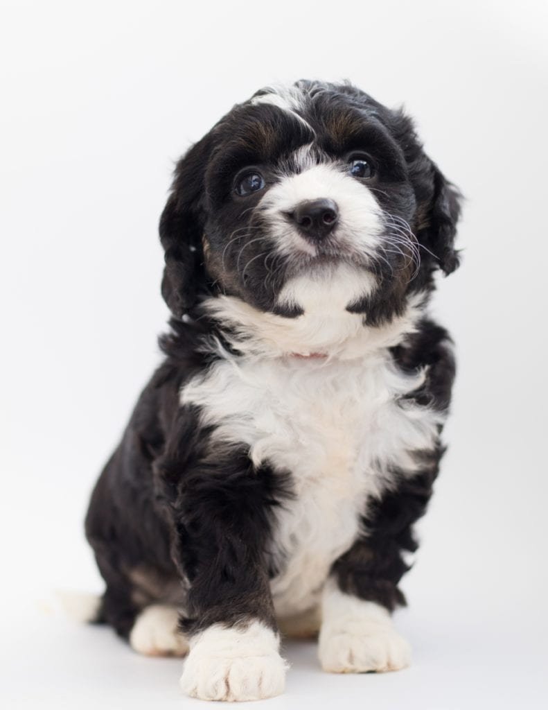 A picture of a Benz, one of our  Bernedoodles for sale
