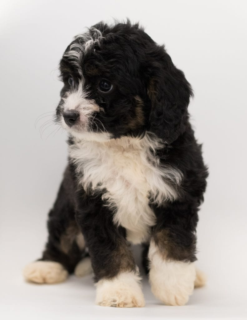 Another great picture of Benz, a Bernedoodles puppy