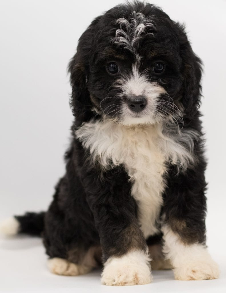 Benz came from Benz and Stanley's litter of F1 Bernedoodles