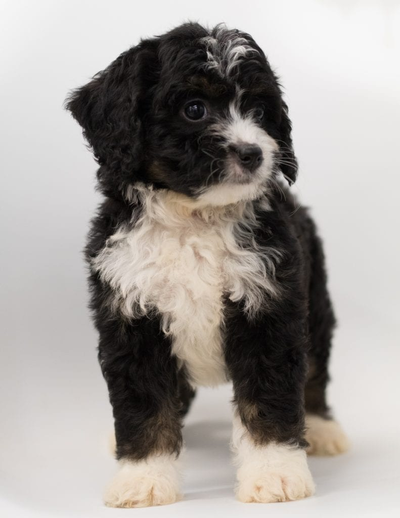 A picture of a Benz, one of our  Bernedoodles puppies