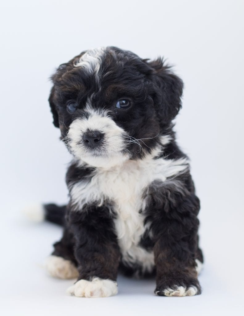 A picture of a Birdi, one of our  Bernedoodles puppies