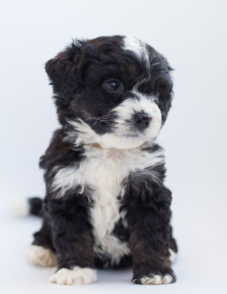 A picture of a Birdi, one of our  Bernedoodles for sale