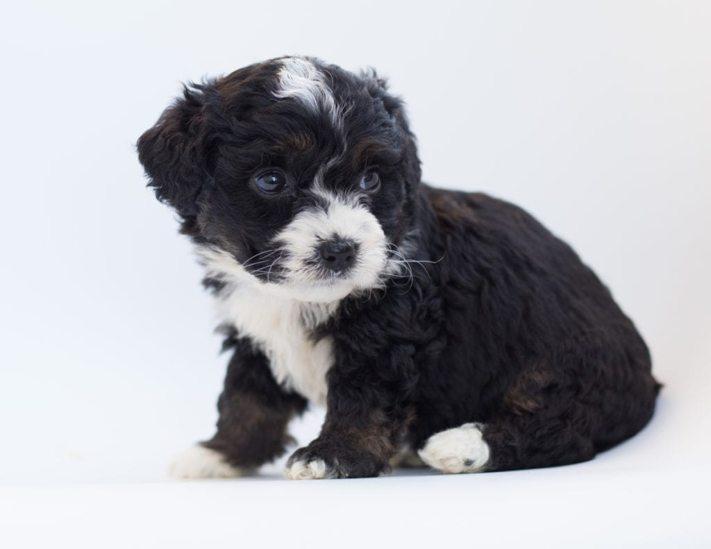 "Birdi is an F1 Bernedoodle that will be hypoallergenic. Read more about what a dog being hypoallergenic means on our latest blog post, ""The New Breed Everyone Seems to Want"""