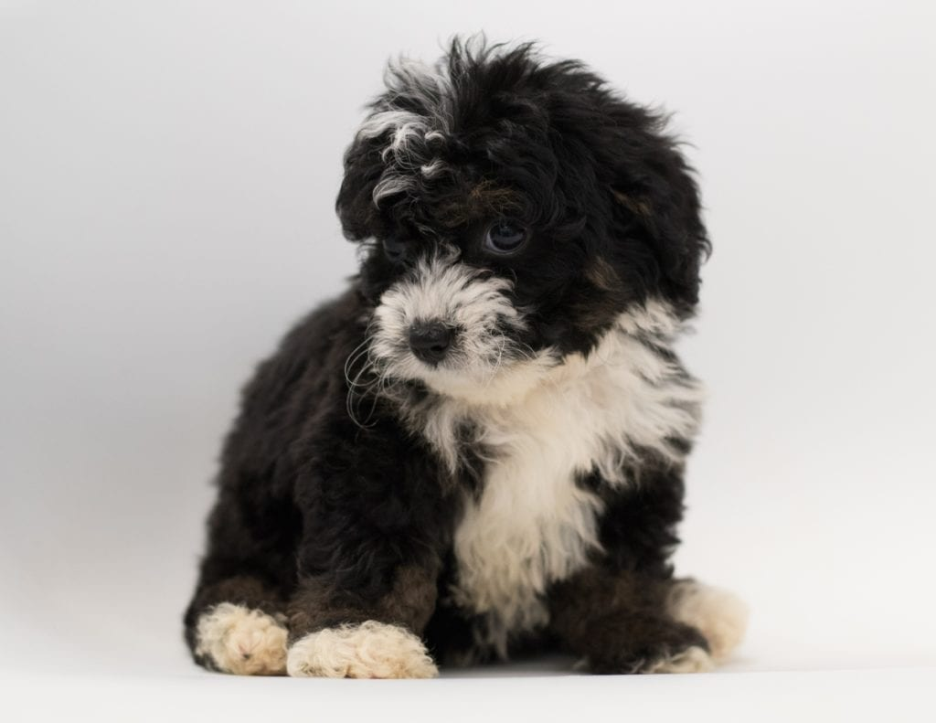 Another great picture of Birdi, a Bernedoodles puppy