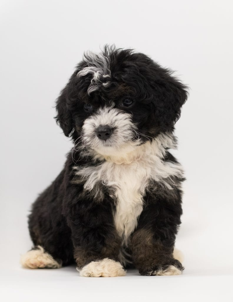 Birdi came from Tori and Stanley's litter of F1 Bernedoodles
