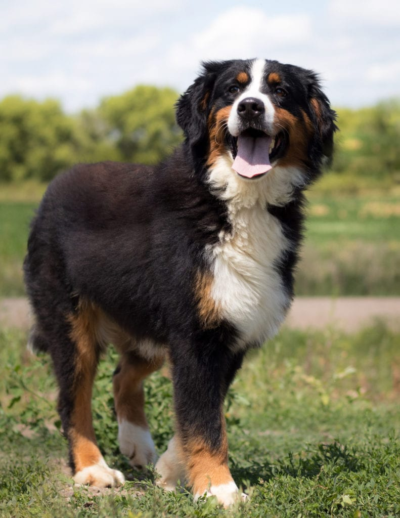 A picture of one of our Bernese Mountain Dog mother's, Tori.