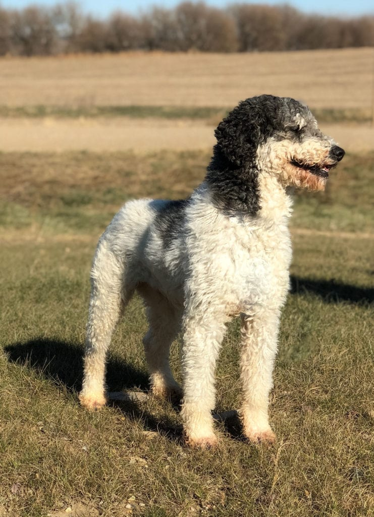 Bentley is an  Poodle and a father here at Poodles 2 Doodles, Sheepadoodle and Bernedoodle breeder from Iowa