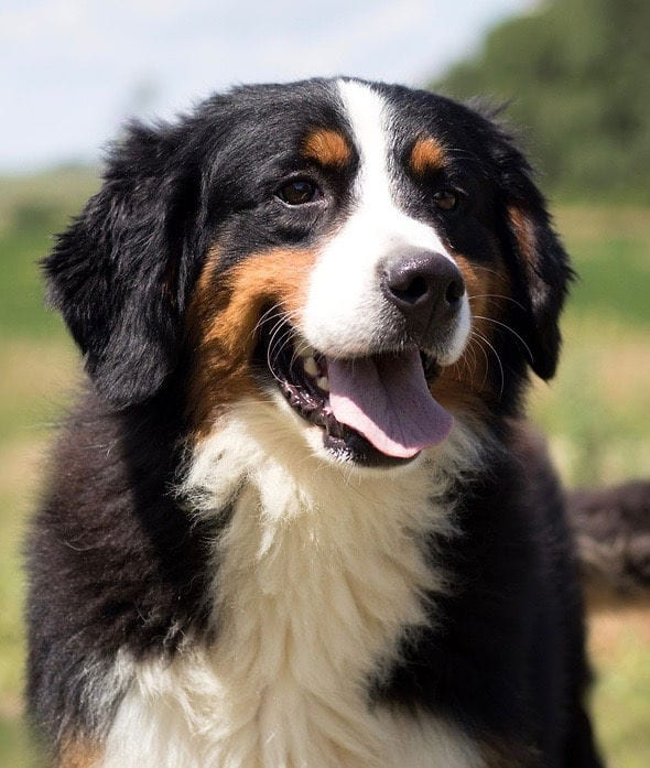 Tori is an  Bernese Mountain Dog and a mother here at Poodles 2 Doodles, a top breeder of Bernedoodle puppies