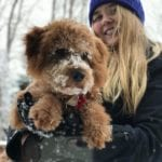 A mini Goldendoodle puppy after playing in the snow!