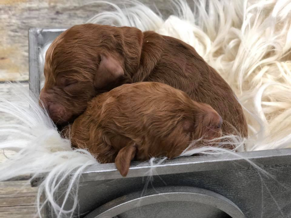 Male Mini F1 Dark Red Goldendoodles