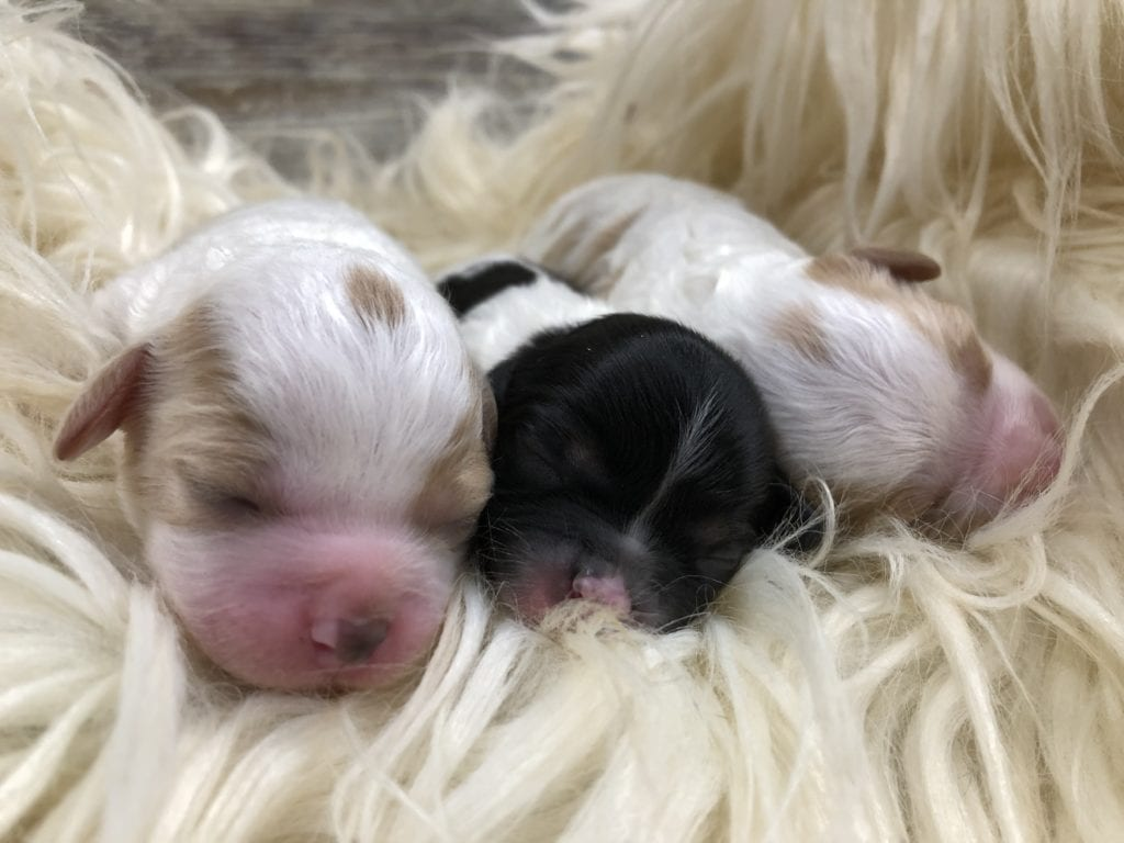 A picture of our litter of  Cavapoos raised in Iowa