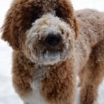 Red and white parti goldendoodle