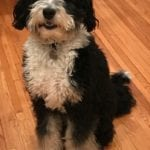 F1 Standard Tri colored Bernedoodle