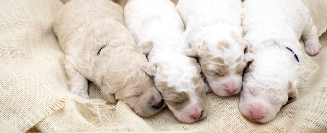 A picture of our litter of  Goldendoodles raised in Iowa