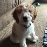 Parti factored mini Goldendoodle