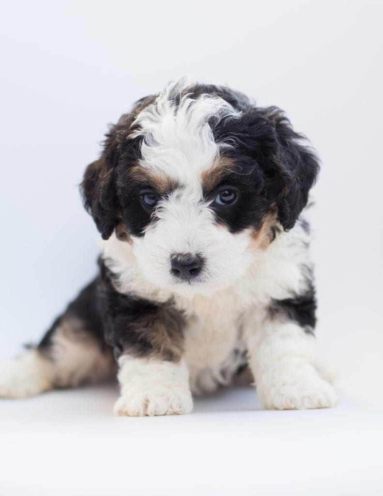 A picture of a Bea, one of our  Bernedoodles for sale
