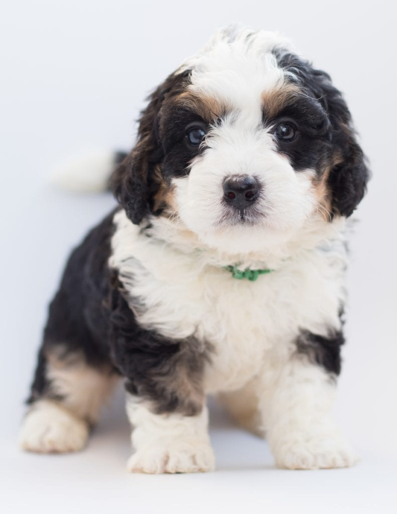 A picture of a Bea, one of our  Bernedoodles puppies