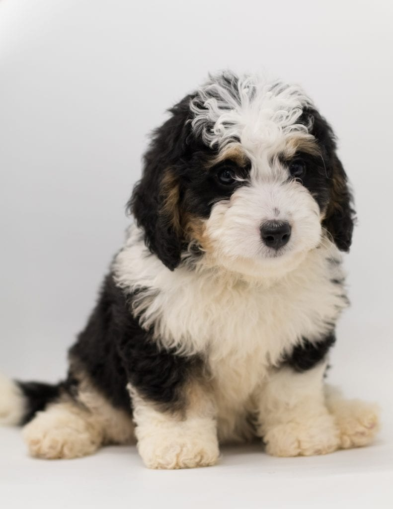 Bea came from Tori and Stanley's litter of F1 Bernedoodles