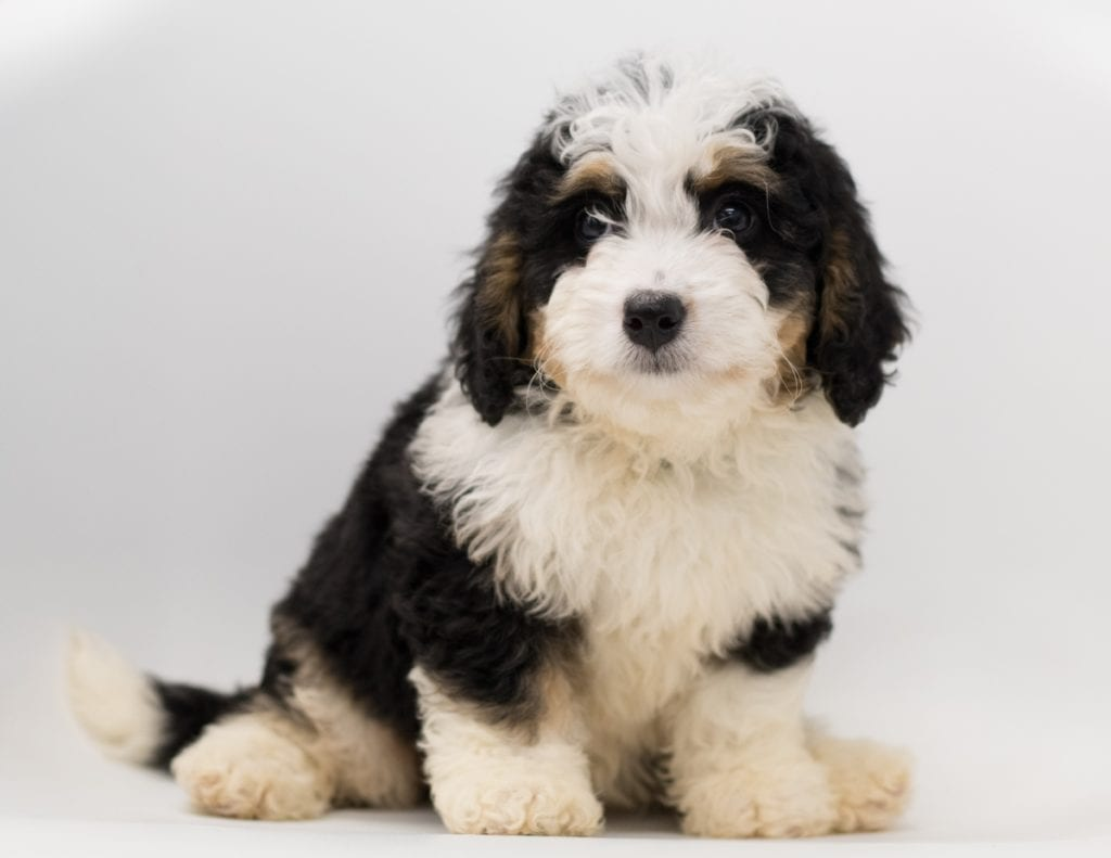 Another great picture of Bea, a Bernedoodles puppy