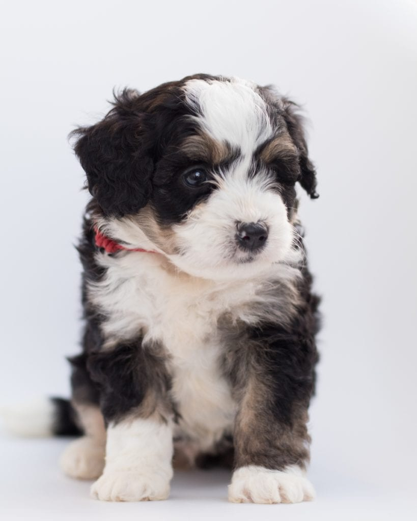 "Bean is an F1 Bernedoodle that will be hypoallergenic. Read more about what a dog being hypoallergenic means on our latest blog post, ""The New Breed Everyone Seems to Want"""
