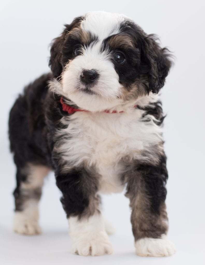Another great picture of Bean, a Bernedoodles puppy