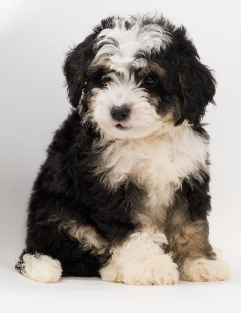 A picture of a Bean, one of our  Bernedoodles puppies