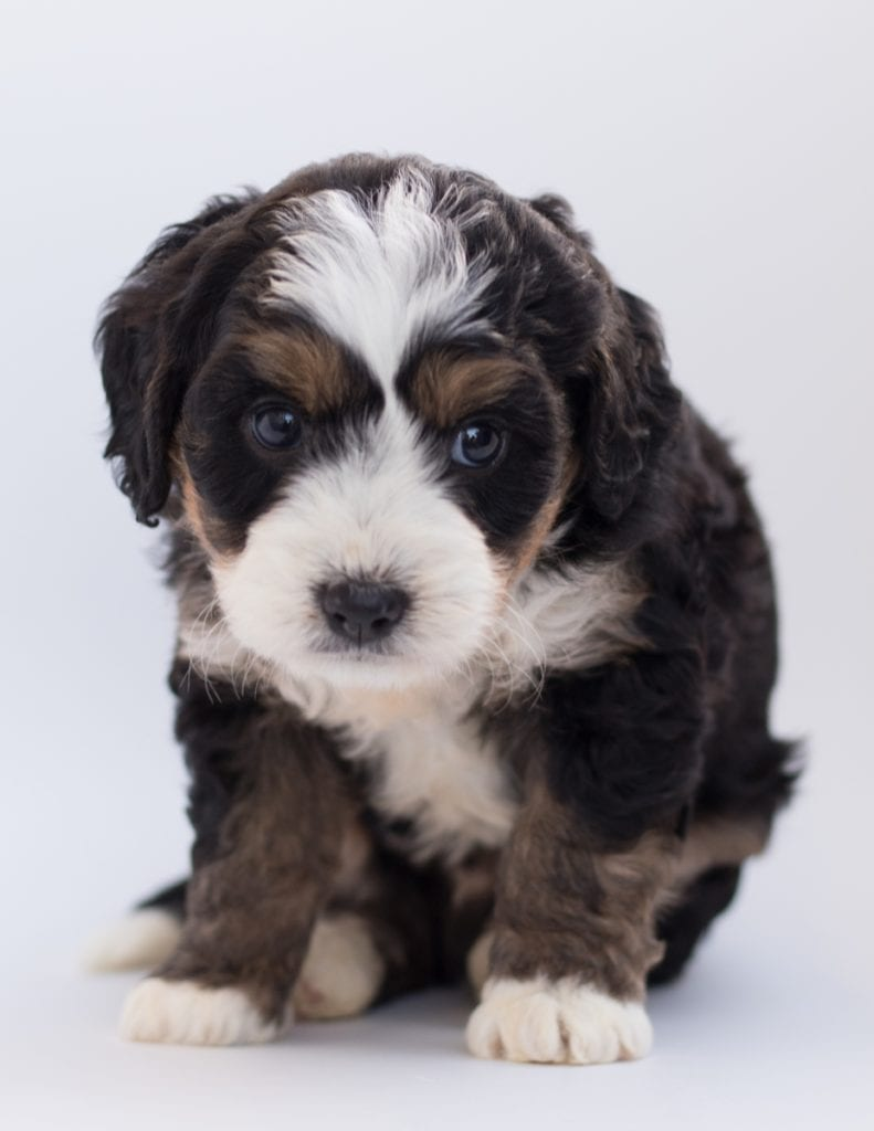 """Bear is an F1 Bernedoodle that will be hypoallergenic. Read more about what a dog being hypoallergenic means on our latest blog post, """"The New Breed Everyone Seems to Want"""""""