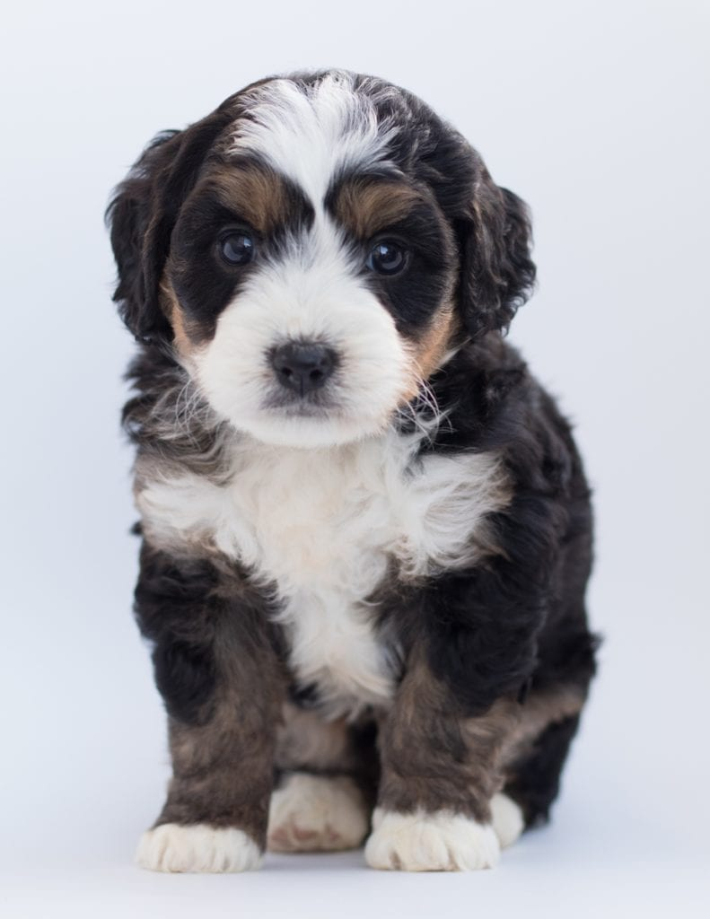 A picture of a Bear, one of our  Bernedoodles puppies