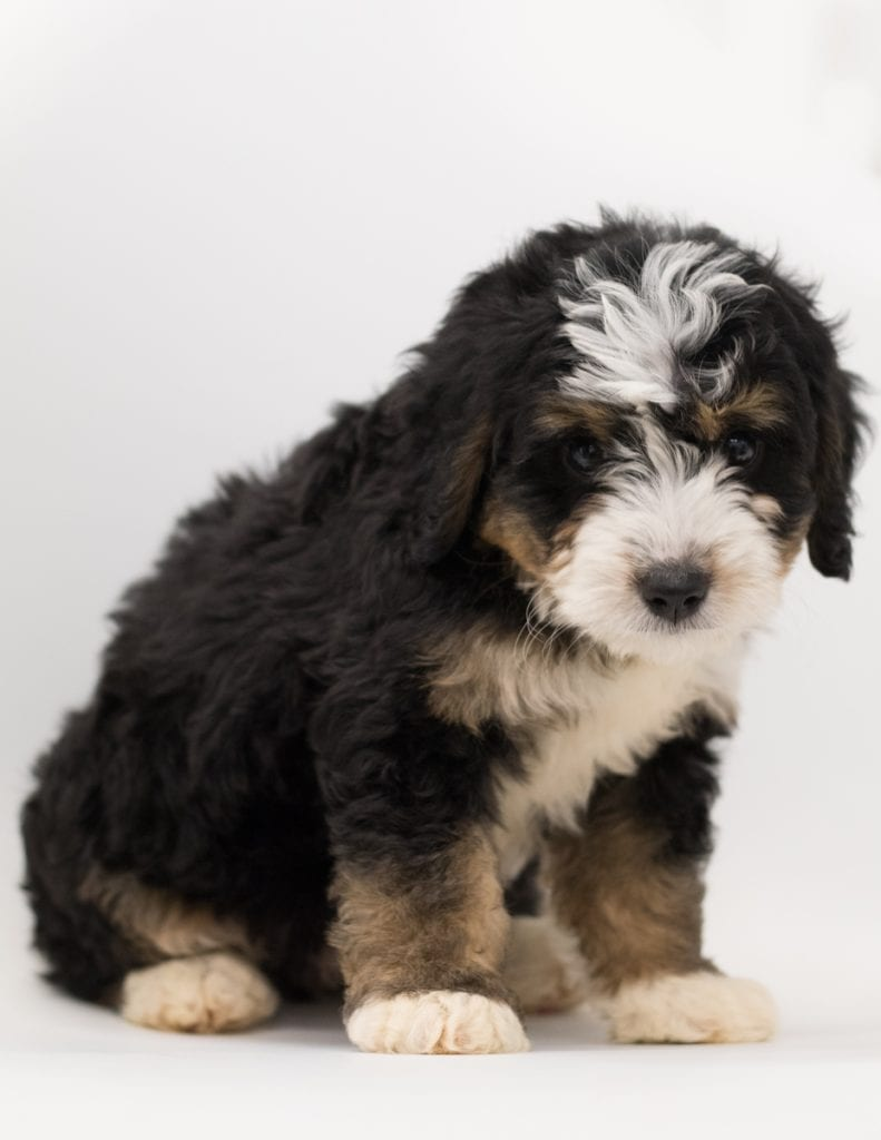 Bear came from Bear and Stanley's litter of F1 Bernedoodles