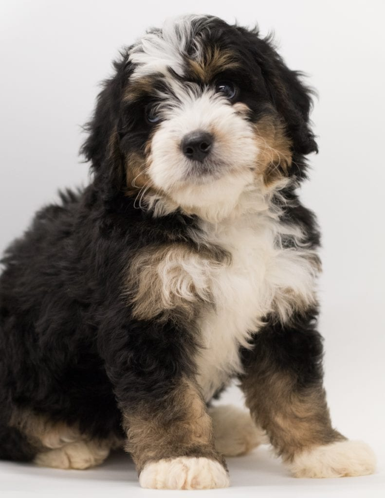 Another great picture of Bear, a Bernedoodles puppy