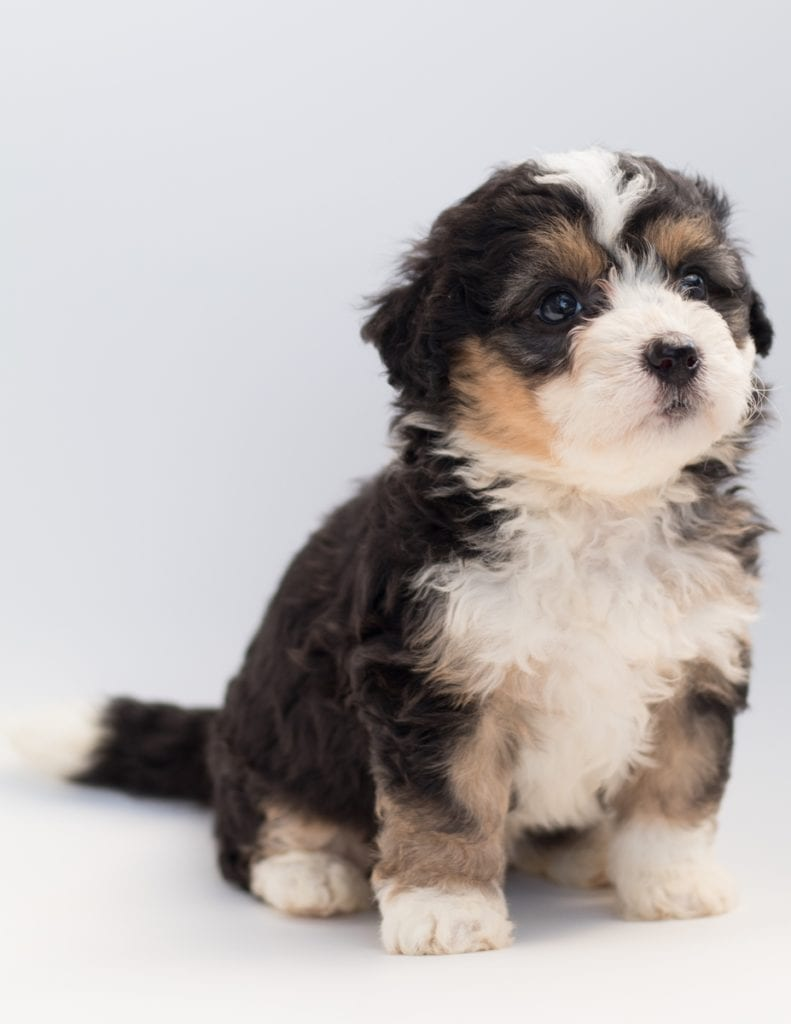 A picture of a Bell, one of our  Bernedoodles for sale