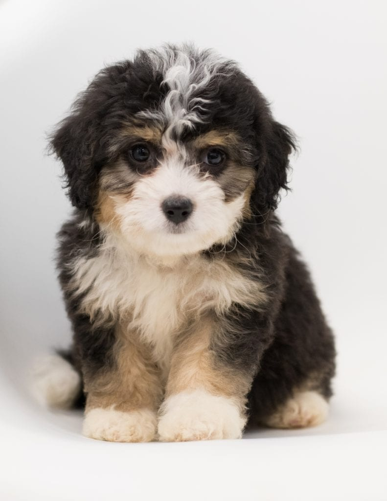 A picture of a Bell, one of our  Bernedoodles puppies