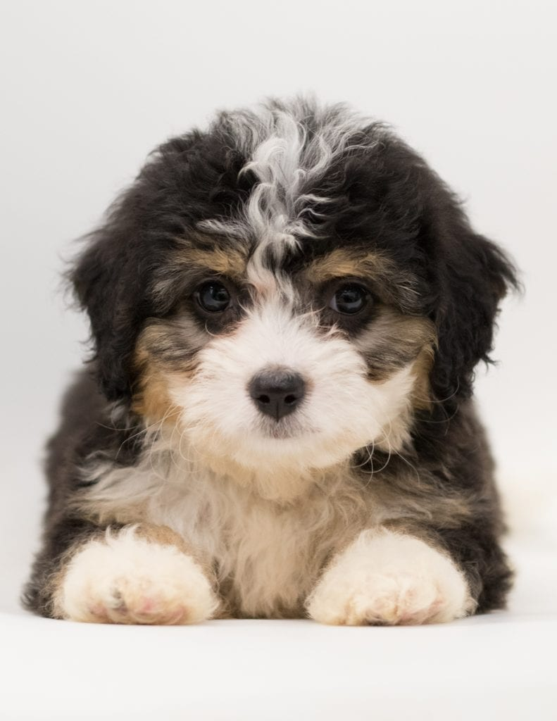 Another great picture of Bell, a Bernedoodles puppy