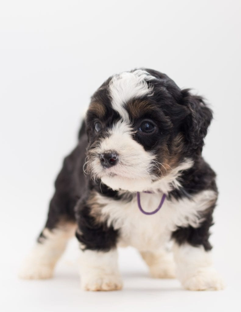 A picture of a Bibi, one of our  Bernedoodles for sale