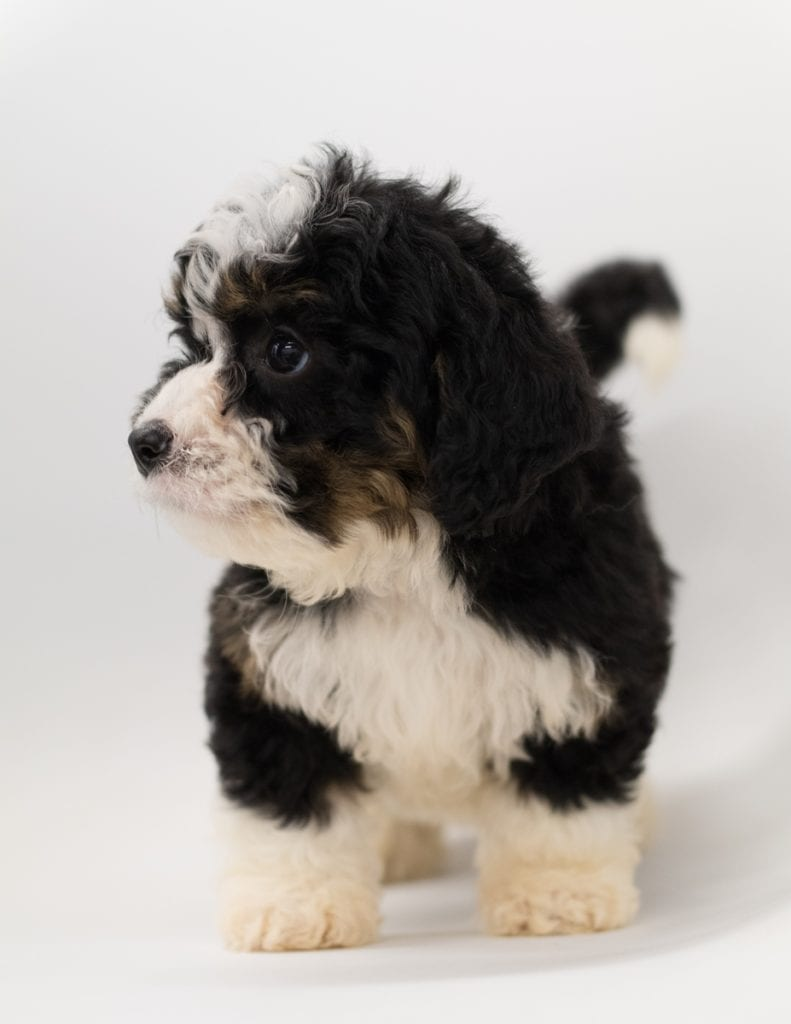 Another great picture of Bibi, a Bernedoodles puppy