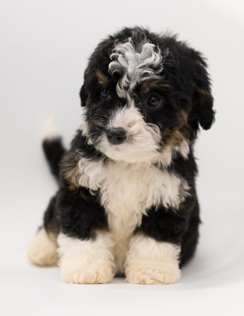 A picture of a Bibi, one of our  Bernedoodles puppies