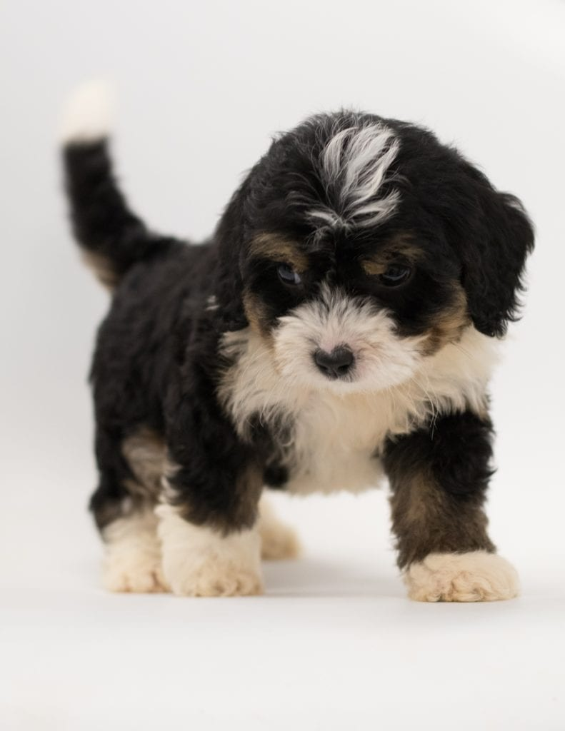 Another great picture of Bo, a Bernedoodles puppy