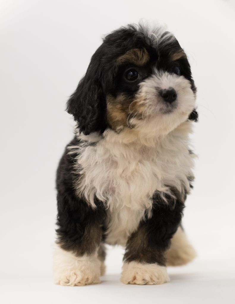 A picture of a Bo, one of our  Bernedoodles puppies