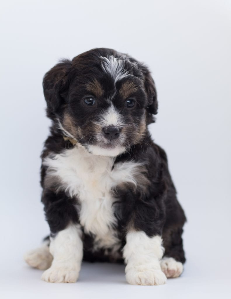 A picture of a Boni, one of our  Bernedoodles for sale
