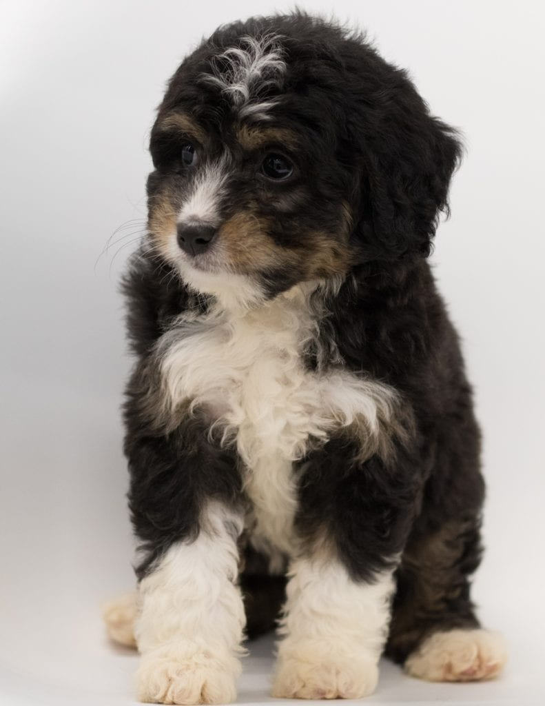 Another great picture of Boni, a Bernedoodles puppy