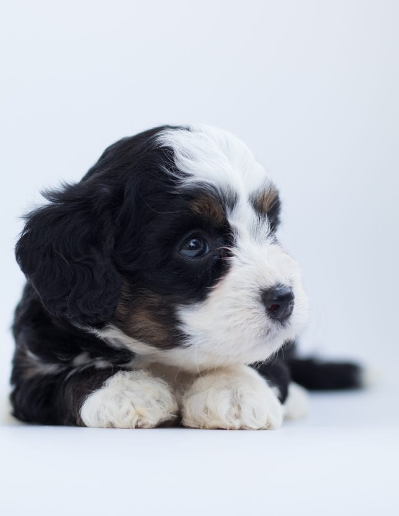 A picture of a Brita, one of our  Bernedoodles for sale