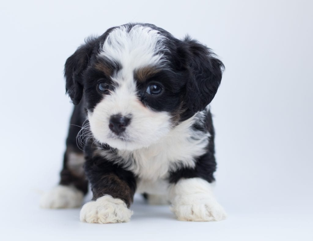 Another great picture of Brita, a Bernedoodles puppy