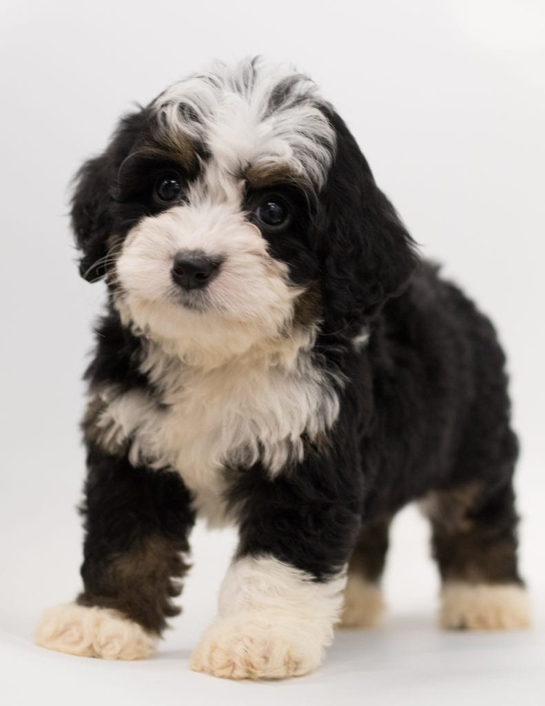 A picture of a Brita, one of our  Bernedoodles puppies