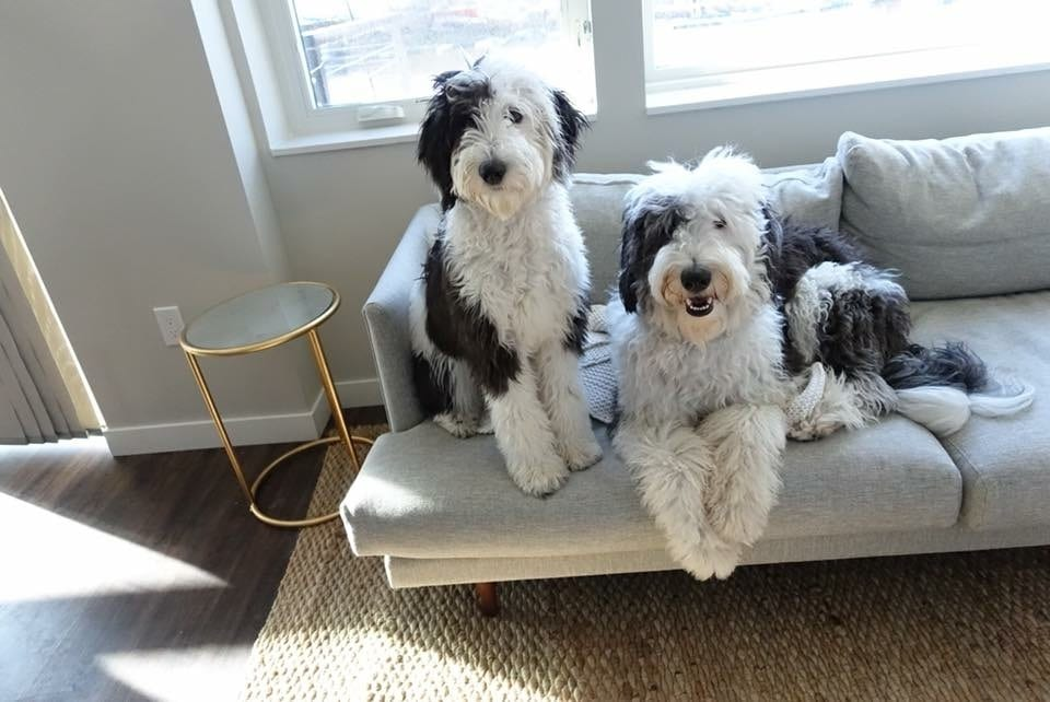 2 Standard F1 Sheepadoodles laying on a couch